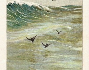 Antique Scientific Bird Print by the Famous Naturalist Ernest Seton Thompson, Herring Gull and Petrels, 1903