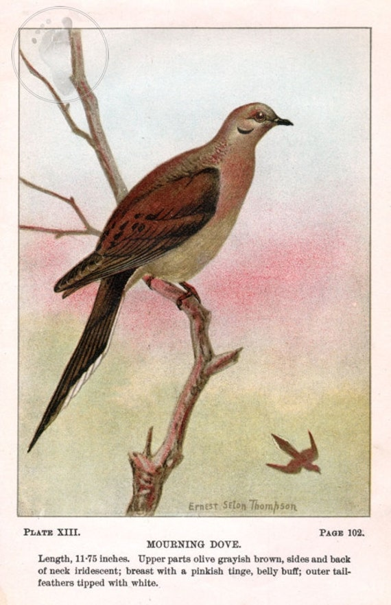 Antique Scientific Bird Print by the Famous Naturalist Ernest Seton Thompson, Mourning Dove, 1903