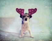 Jack Russell - Cute dog Christmas Photo - Puppy - Blue - Season's Greetings - 8x10 - Pet Photography