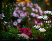 shabby chic home decor 5x7 Photo, Spring flowers, pink, purple, white daisies,StrongylosPhoto
