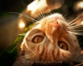 Ginger Cat with Amber Eyes 5x7 Photo adorable cat photography nursery decor orange tabby portrait StrongylosPhoto