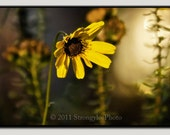 13x19 framed photography yellow daisy flower photo, large ready to hang, poster size, dreamy, shabby chic, romantic gift for her