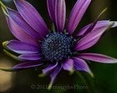 royal purple daisy flower photo, 8x12, macro flower photography, fine art print, romantic home decor StrongylosPhoto