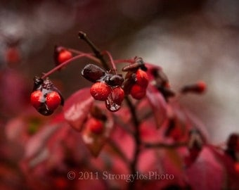 8x10 print red seeds covered in dew, North Carolina, autumn photography, red burning bush, StrongylosPhoto, fall photo