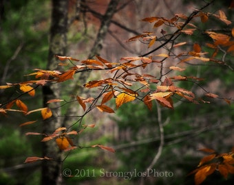 Landscape Photography 8x10 photo print gold Beech leaves in Autumn StrongylosPhoto, Asheville North Carolina