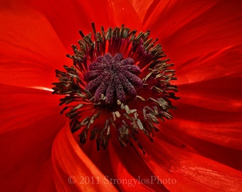 bright red poppy flower photo 5x7 print, fine art photography, botanical, orange, red, purple, nature photography