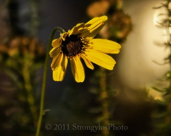 fine art photography yellow daisy 13x19 large print, flower and light, StrongylosPhoto