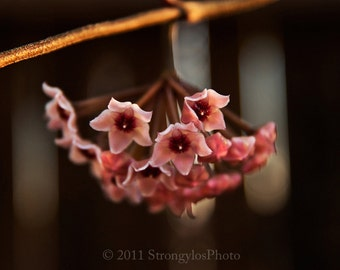 Pink Flowers, blooming Hoya, Fine Art Photography 8x10 romantic home decor, soft, dreamy, botanical art