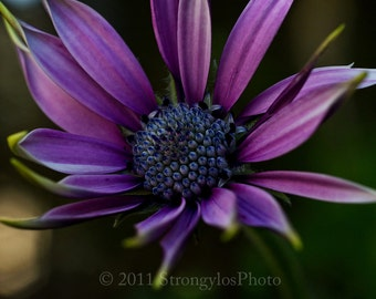royal purple daisy flower photo, 8x12, macro flower photography, fine art print, romantic home decor StrongylosPhoto