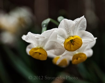 Botanical fine art photography, close up, macro, large 11x14 photo Spring Daffodils in rain, white flowers, yellow, green StrongylosPhoto
