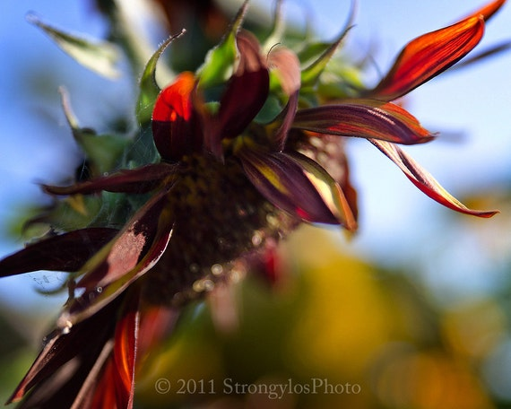 Sunflower Fine Art Photography 8x10 Sunflower in Summer blue sky rust colored StrongylosPhoto