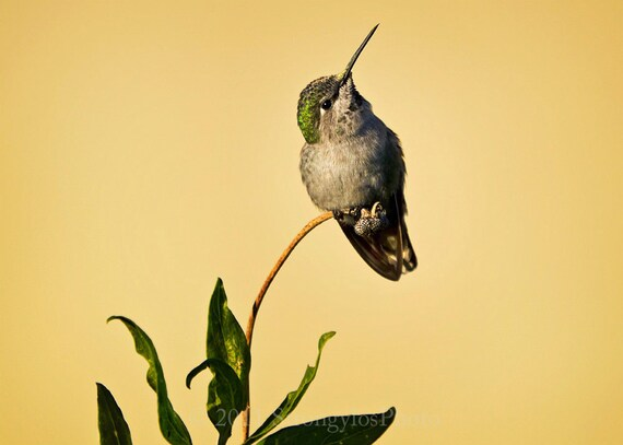 handmade card, photo of a hummingbird, eco friendly, female Anna's Hummingbird, humming bird, green feathers, leaves, pale yellow
