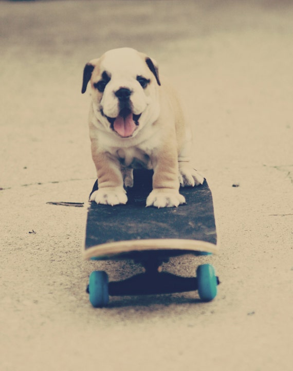 English Bulldog Skateboarding 8x10 Print
