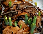 Spring Bulbs with Leaves Photograph 8 x 10 inch by J. L. Fleckenstein