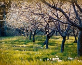 Fine Art Photograph of Row of Cherry Trees, Cherry Blossoms, Spring,  Dandelions 5x7
