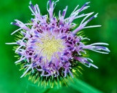 a very unsual look at a thistle-- Beginning to Bloom