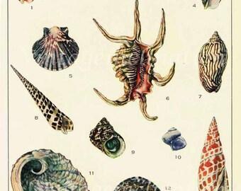 1950s Australian Shells Vintage Print to frame
