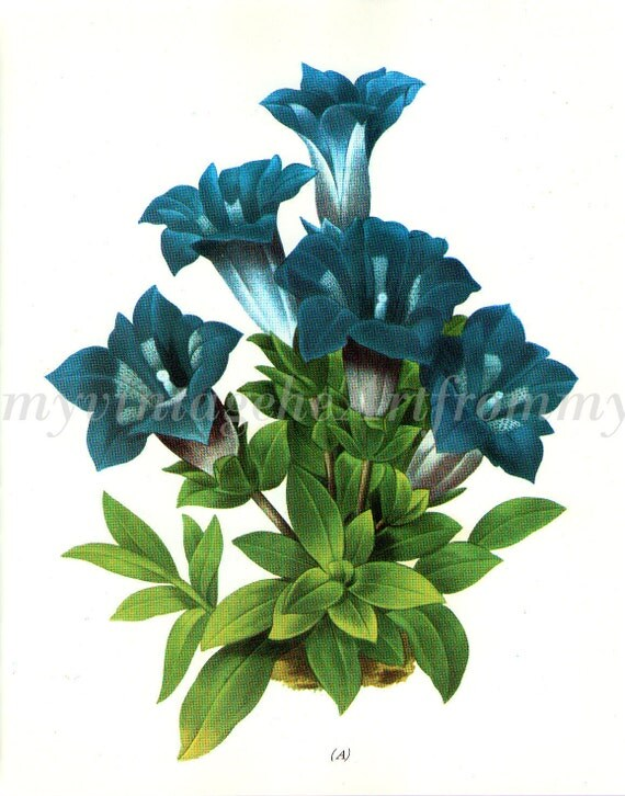 Vintage 1800s Etching, Gentian by Redoute 1800s bookplate, original 1973 wild flowers bookplate art print,  teal flowers, ephemera, art