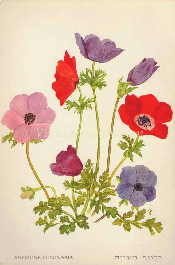 1960 Botany Print Anemone flowers vintage antique art illustration book plate natural science for framing 52 years old