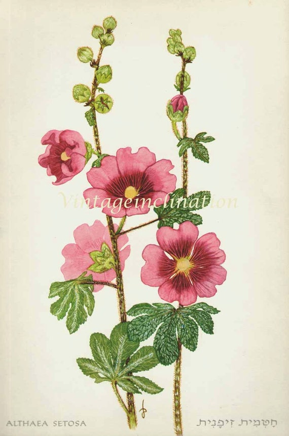 1960 Botany Print Althaea flowers vintage antique art illustration book plate natural science for framing 52 years old