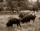 Buffalo, bison, sepia, brown, chocolate, rustic, mens, western, southwest, home decor, original fine art photograph, 16x20 print