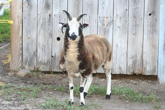 65 oz raw unwashed Jacob Sheep fleece (Jill)