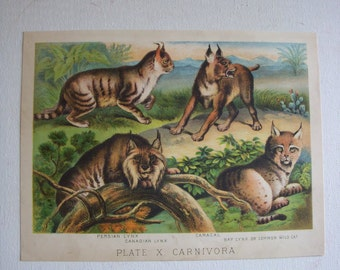 1880s Henry J. Johnson Color lithograph Wild cats