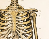 Anatomical Chart: The Skeleton
