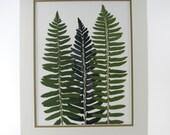 Real Leaves - Botanical Art - Swordferns - Green Shadow Fern on 11 X 14 Double Mat