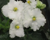 African Violet, live plant, SNOW LEOPARD, dazzling white and frilly, SALE