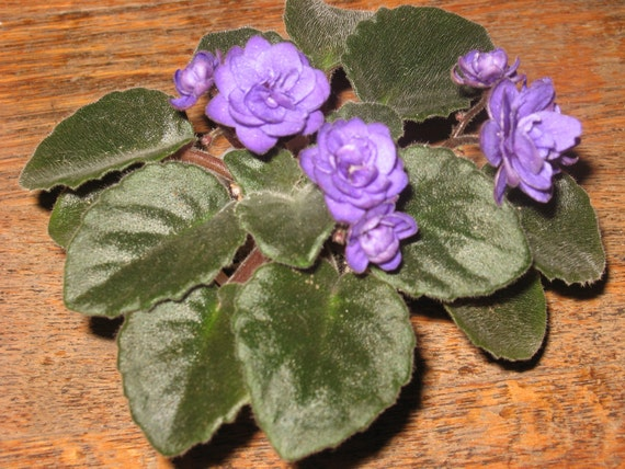 African Violet, live plant, NESS' CRINKLE BLUE, beautiful dark blue, double blossom, new lower price
