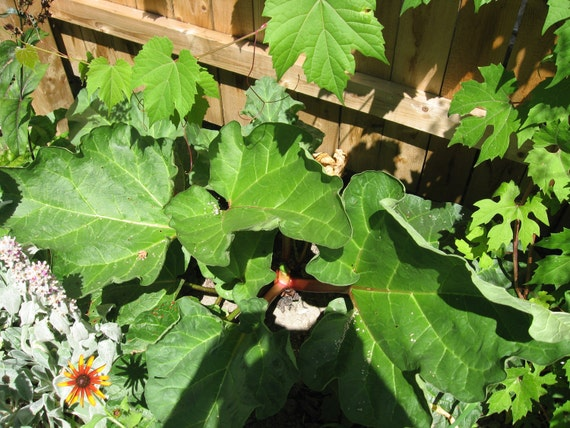 100 SEEDS RHUBARB, have rhubarb even down south
