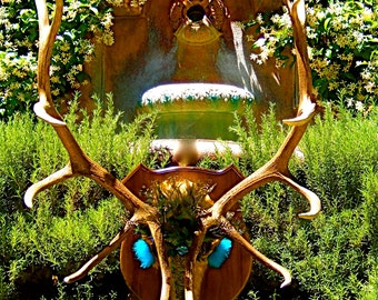 "SALE - Huge Artistic Elk Scull - Title: ""Nature's Royalty"" A New Genuine New Mexico Majestic Elk"