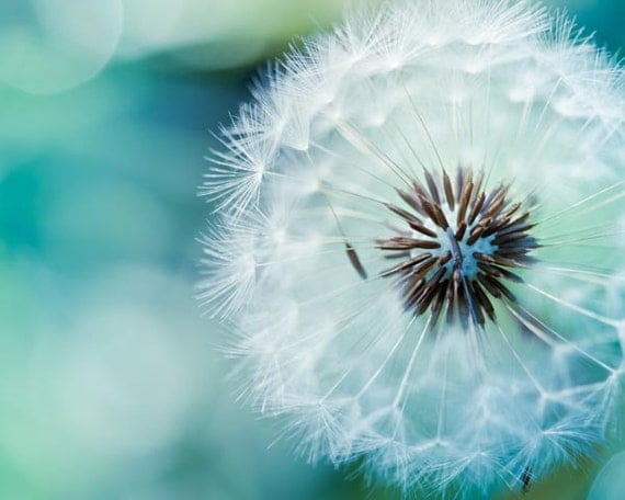 teal home decor Nature photography dandelion print floral dandelion wall art floral photography dandelion botanical art nursery decor blue