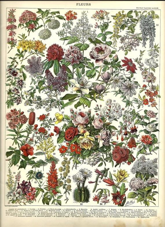 2 Vintage French Botanical Color Print - 1904 FLOWERS