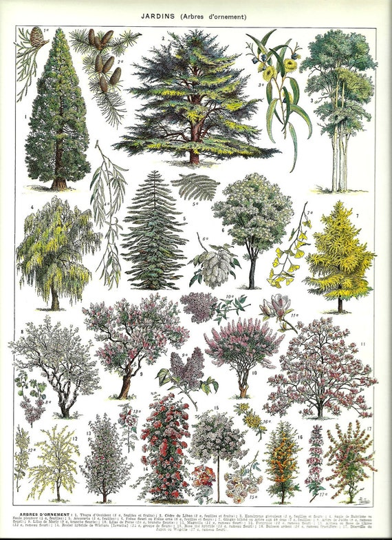 Antique ORNAMENTAL TREES 1 - Vintage french dictionary Print - 1930