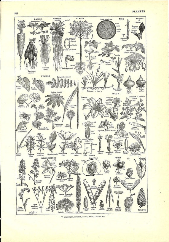 Antique botanical black and white poster - French dictionary Illustration - 1948