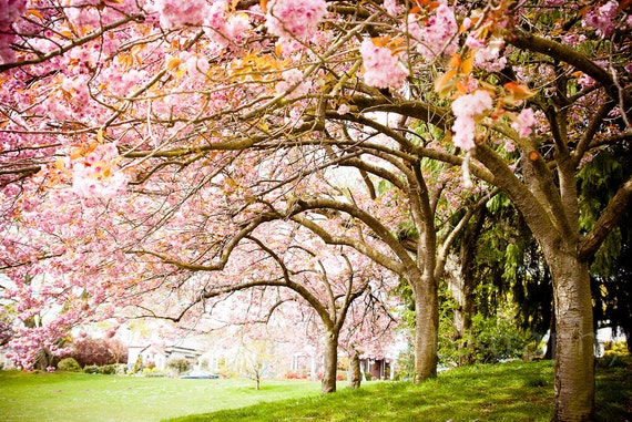 canopy of gorgeous spring cherry blossoms on a tree lined park