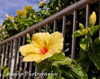 Hibiscus 8x10 photograph