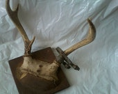 Vintage 1955 Real Deer Antlers Mounted with Original Hunting Tag... Free Shipping.
