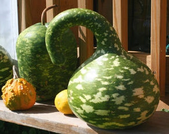 7 Rob's Giant Gourd Seeds-1174