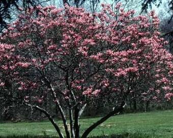 7 Tulip Magnolia Tree Seeds-1034