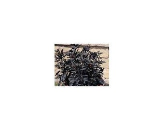 10 Black Pearl Pepper Seeds-1048