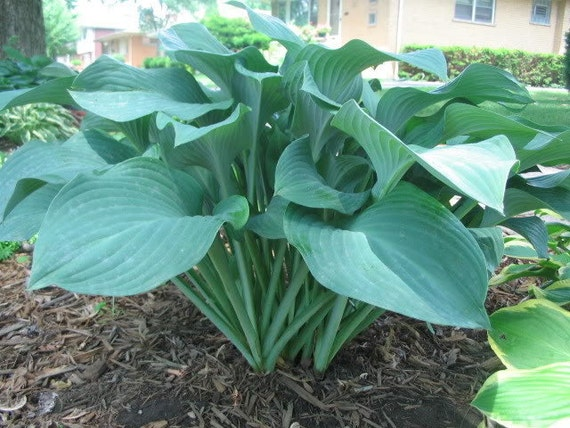 blue giant hosta - photo #16