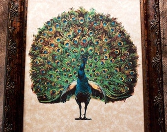 Peacock Art from 1910 Art Print on Your Choice of 2 Parchment Papers