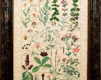 Types of Digestive-Stimulant Plants Art Print from 1912 on Parchment Paper