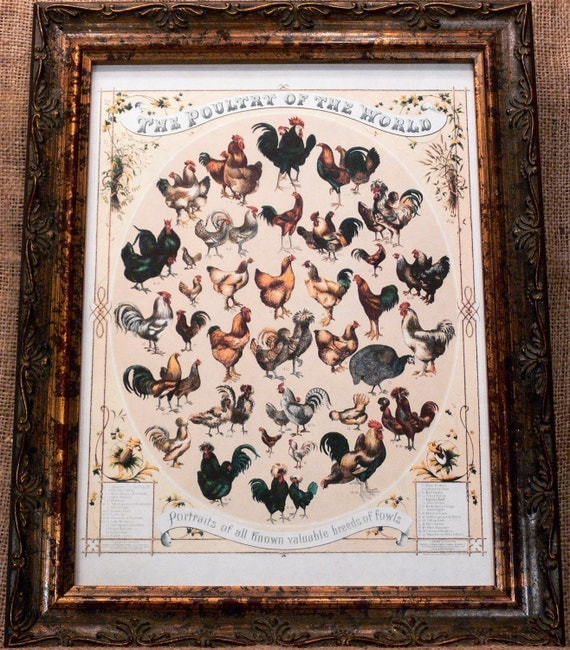 Poultry of the World Chart from 1868 Art Print on Drawing Paper