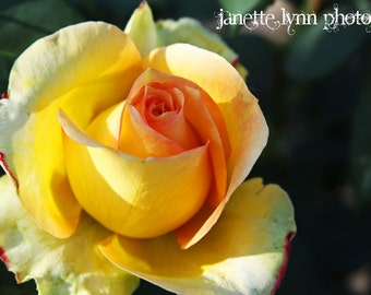 Yellow Rose With Hint of Pink Photograph Canvas Wrapped Wall Art