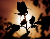 Flower Photography - Silhouette of a Rose, Fine Art, Garden, Flowers, Floral, Home Decor, For Her, Nature, San Diego, California, 8x10