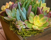 Special Listing for Mary 2 Succulent  Centerpieces, Summertime Succulent Tabletop - Succulent Centerpieces,  Wedding, Housewarming Gift